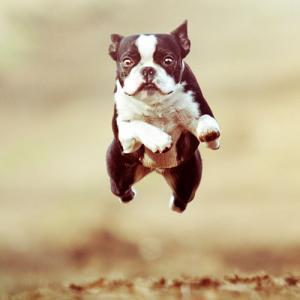 English Terrior jumping
